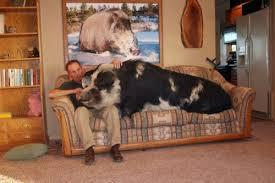 big pig.jpg